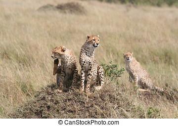 savanne, cheetah