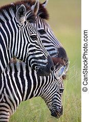 savanne, drei, zebras