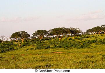 savanne, enigszins, acacia