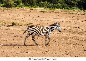 savanne, gamboling, amboseli, park, vrijstaand, zebra, kenia