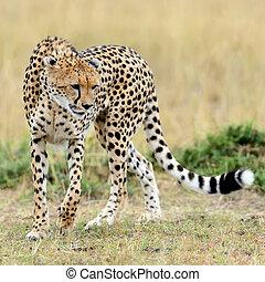 savanne, gepard, afrikas