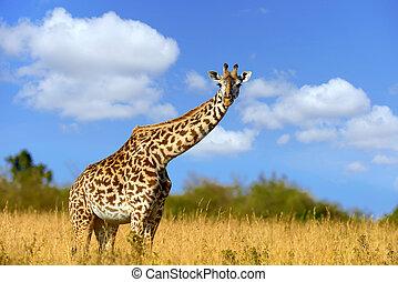 savanne, giraffe, afrikas
