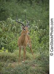 savanne, impala