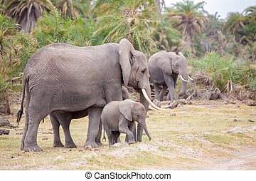 savanne, kenia, wandelende, enig, olifanten