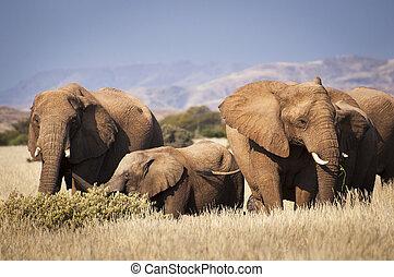 savanne, kudde, olifanten