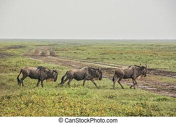 savanne, kudde, wildebeest, afrikaan