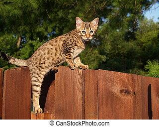 savanne, mann, serval, kã¤tzchen