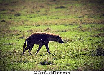 savanne, ngorongoro, tansania, afrikas, hyäne