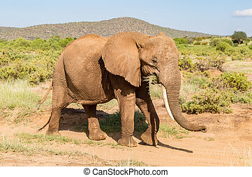 savanne, oud, samburu, elefant