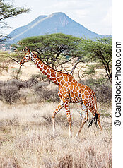 savanne, reticulated, wandelende, giraffe