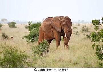 savanne, rood, elefant