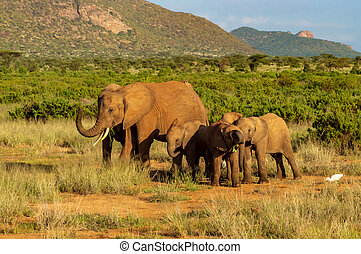 savanne, samburu, gezin, elefant