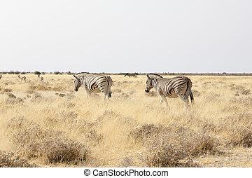 savanne, wandelende, zebra