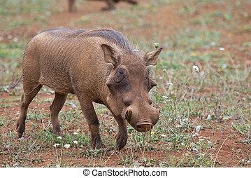 savanne, warzenschwein