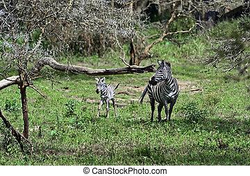 savanne, zebra