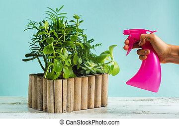 savanyúcukorka, törődik, kertész, zöld, plant., nő, vízesés, kilépő, plants., víz, permetezés, otthon