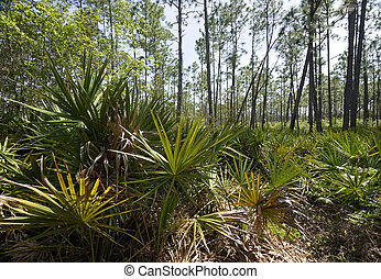 Saw Palmetto at Tarkiln Bayou Preserve State Park - Saw...