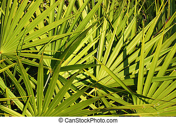 Saw Palmetto Background - Fronds of saw palmetto (Serenoa...