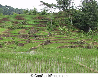Typical Sawa landscape in Java, Indonesia