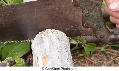 Sawing old tree for firewood - Close-up shot of sawing old...