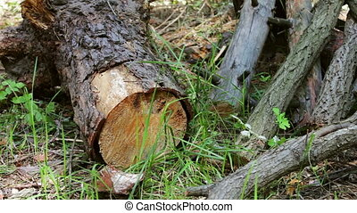 Sawn tree trunk in the forest. The trunk of tree was only cut down and left sawdust around
