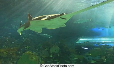 Sawtooth shark swims with tropical fish