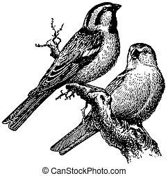 saxaul, pájaro, gorrión