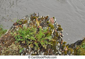 Saxifrage. Sparse vegetation of Yakutia. - Saxifrage. Sparse...