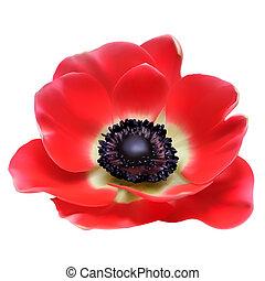 sazonal, flor, illustration., flor, primavera, isolado, anemone, vetorial, branco vermelho