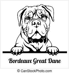 sbirciando, testa, bianco, isolato, bordeaux, cani, danese, ...
