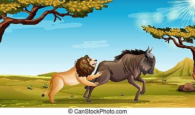 scène, lion, buffle, champ, chasse