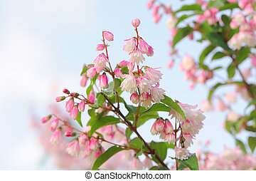 scabra, blomningen, deutzia, buske
