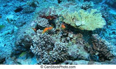 Scalefin anthias or Sea goldies (Pseudanthias squamipinnis). Wide-angle, handheld shot, artifical lighting, daylight, no people, underwater.