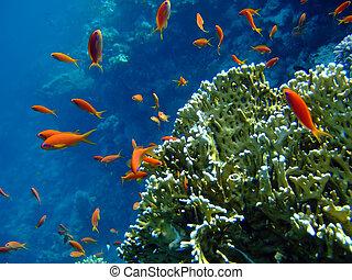 scalefin, anthias, y, coral, en, azul