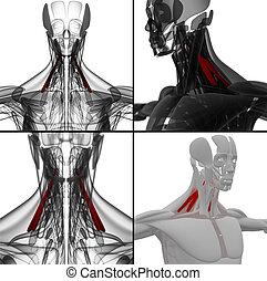 scalenus, illustration médicale