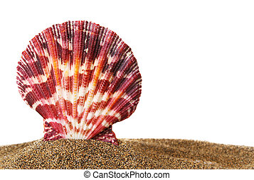 Scallop on Sand