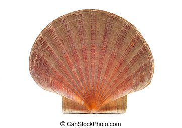 scallop shell or shell of Saint James on a white background