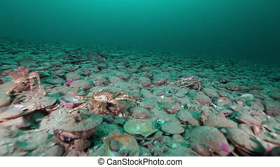 Scallop underwater on seabed of Barents Sea on Kamchatka....