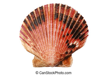 Scallops shell isolated on white background