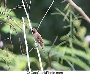 Scaly-breasted Munia on dry branches in garden.