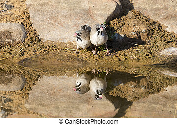 Scaly-Feathered Finch drinks water from a waterhole in Kalahari desert
