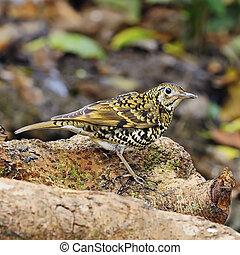 Scaly Thrush - Beautiful scaly bird, Scaly Thrush (Zoothera...