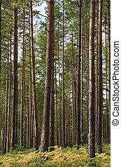 Scandinavian pine forest