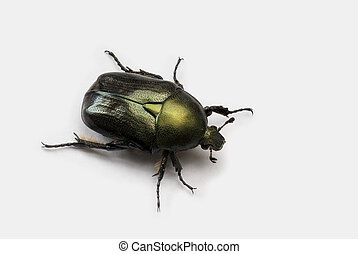 Scarab Beetle over white background