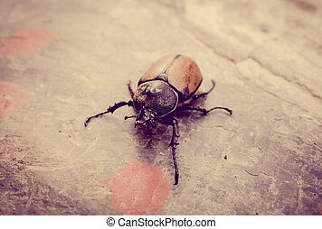 Scarab walking on a stone. Close-up view
