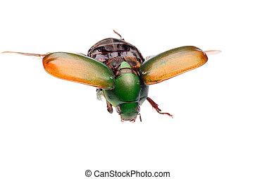 scarab, inseto, voando, besouro