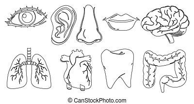 scarabocchiare, corpo, differente, interno, parti, disegno, esterno
