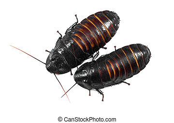 scarafaggi, madagascar, sibilo