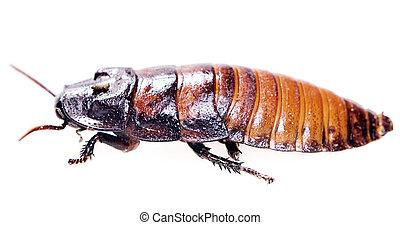 scarafaggio, isolato, bianco, fondo.