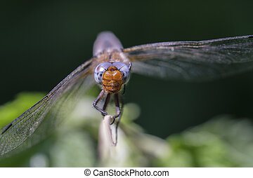 Scarce chaser - macro - front view - Scarce chaser -...